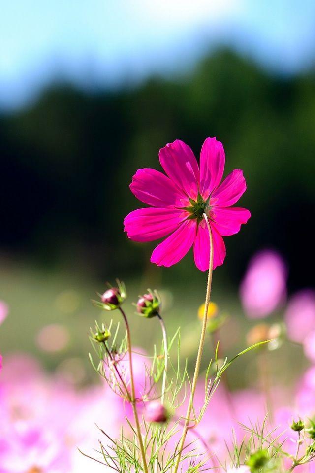 My Lock Screen Cosmos Flowers Pink Nature Flowers