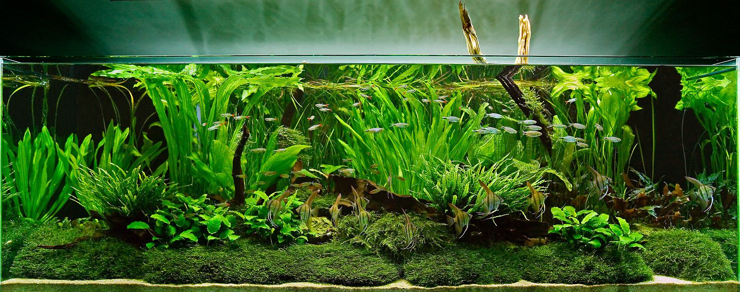 Aquarium design group an aquascape with tall aquatic for Aquarium fish for pond