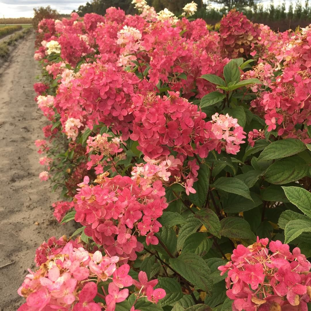Fire Light hydrangea in our fields is taking on some crazy color ...