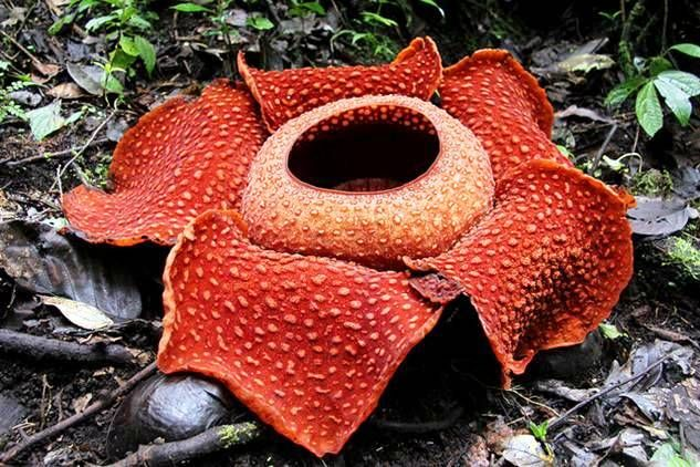Rafflesia Arnoldii Also Known As The Corpse Flower Found In Southeastern Asia Attracts Carrion Eating Beatles An Unusual Flowers Blooming Flowers My Flower