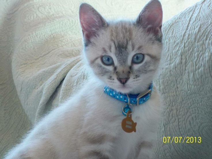 Account Suspended Puppies And Kitties Balinese Cat Siamese Cats