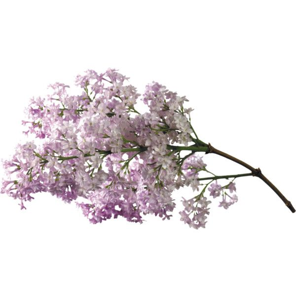MBW - Chinoiserie - Lilac 2.png ❤ liked on Polyvore featuring flowers, plants, decor, filler and floral