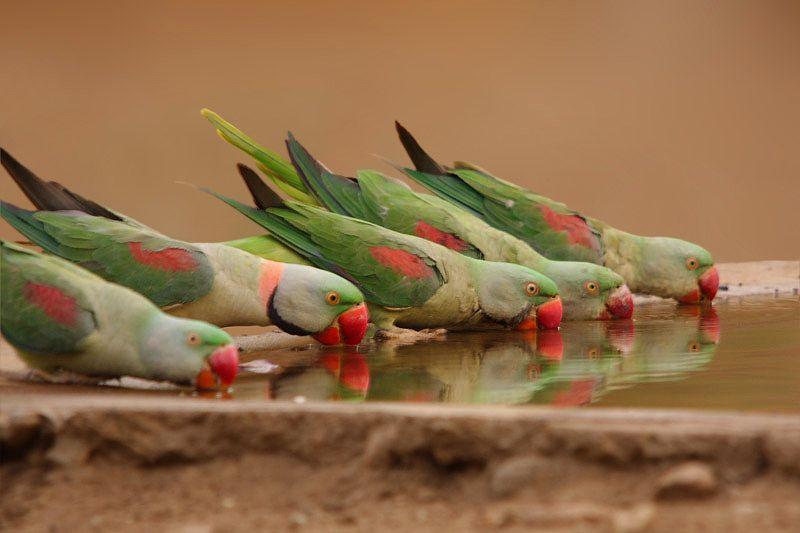 The Alexandrine Parakeet (Psittacula eupatria)