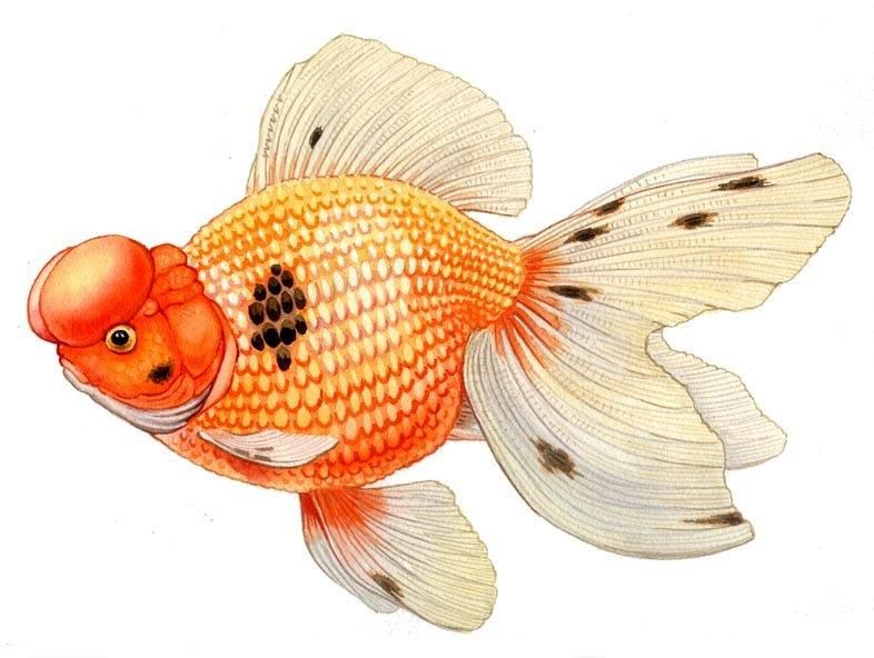 Pearlscale Origin The Pearlscales Continue To Be Very Popular One Is More Fantail In Shape One Is Much Like An Orang Gold Fish Painting Goldfish Art Fish Art