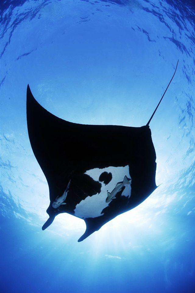 Giant manta(Manta birostris)オニイトマキエイ | Ocean Life | Pinterest