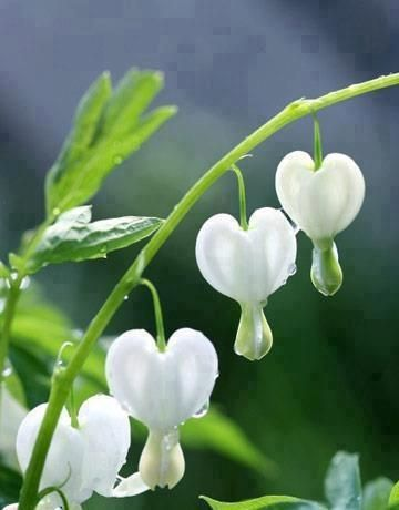 beautiful white bleeding heart