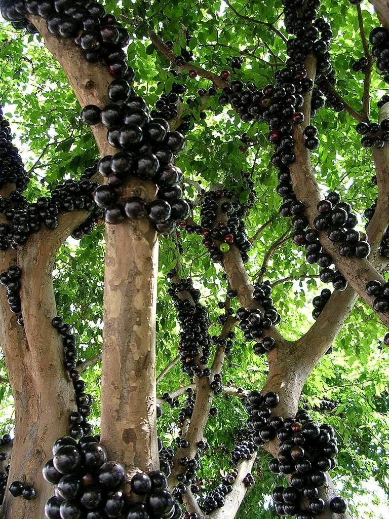 Jabuticaba A Rare Fruit Which Tree Bear Fruits On Its Trunk Charismatic Planet Grape Tree Tree Trees To Plant