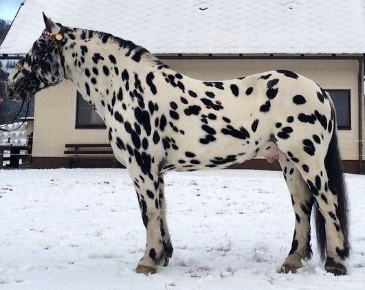 black leopard - Noriker stallion Firon Elmar XIV