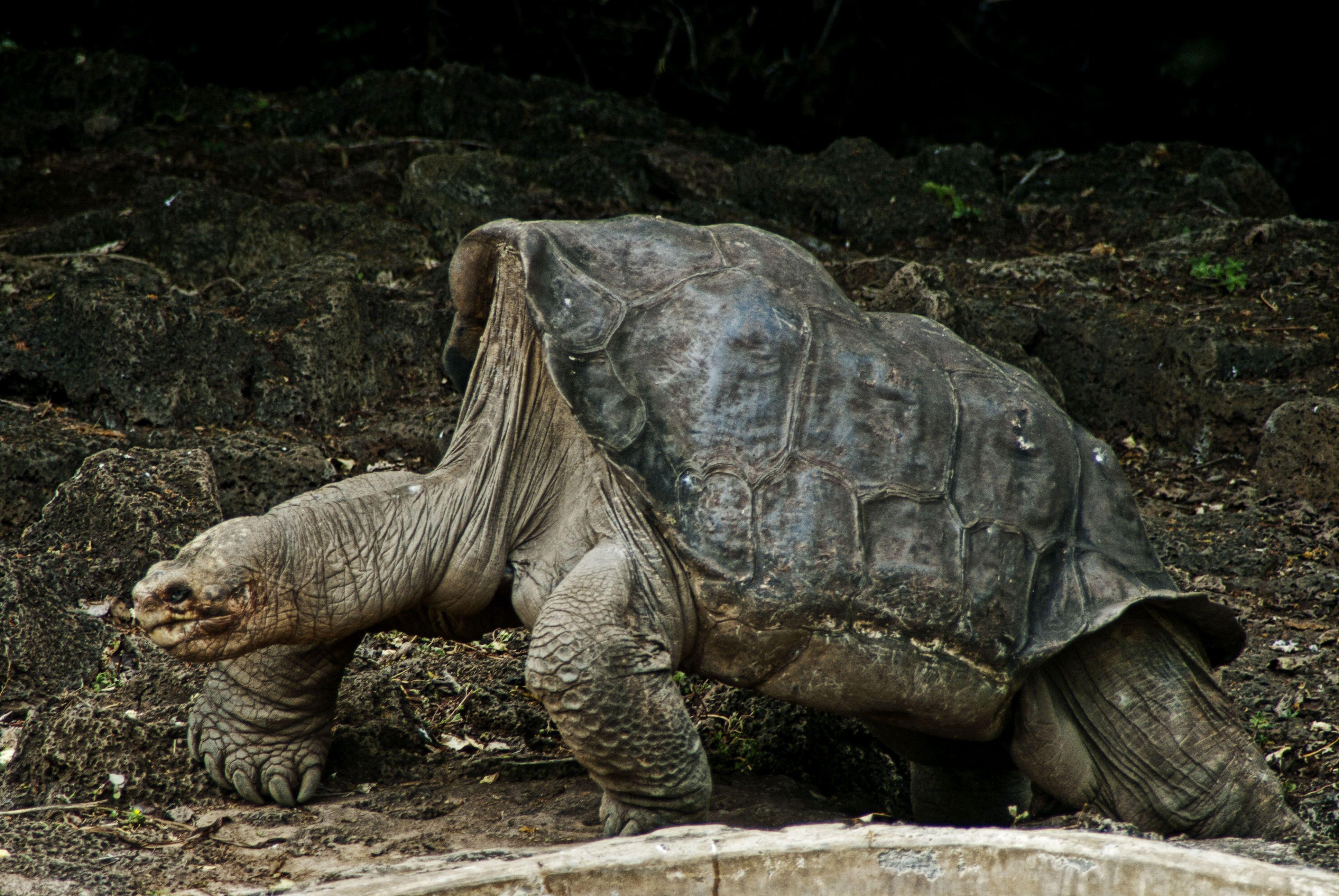 Aldabra Tortoise Hd Wallpaper 6 Jpg Jpeg Image 3872 2592 Pixels Turtle Tortoise Sulcata Tortoise