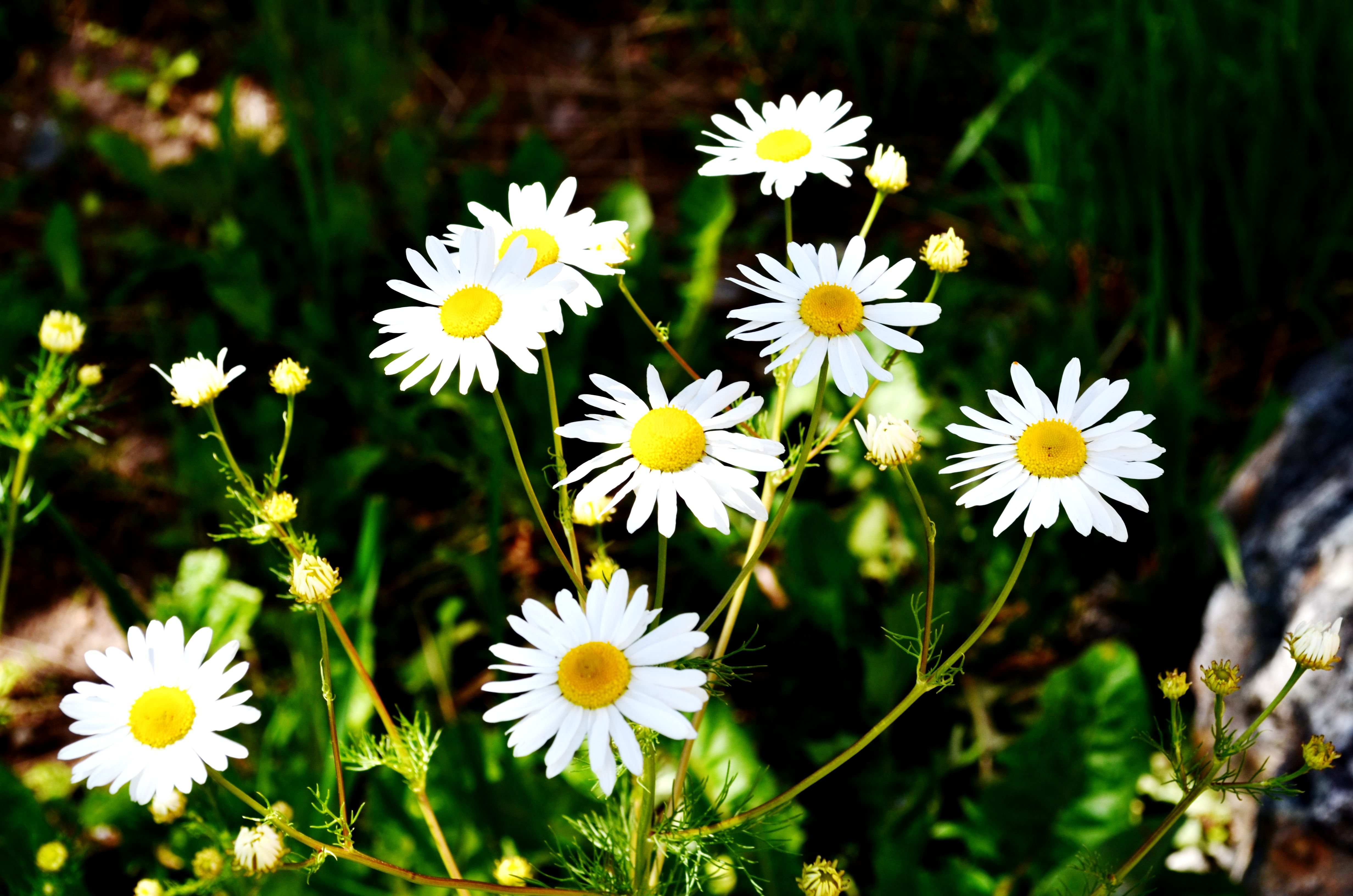 Wild daisies the great outdoors pinterest wild daisies izmirmasajfo