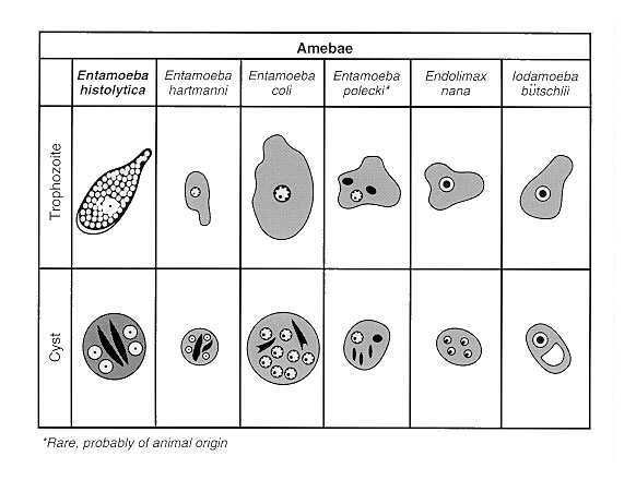 brooke and melvin +entamoeba histolytica life cycle | found in stool specimens of humans. (Modified from Brooke, MM, Melvin ...