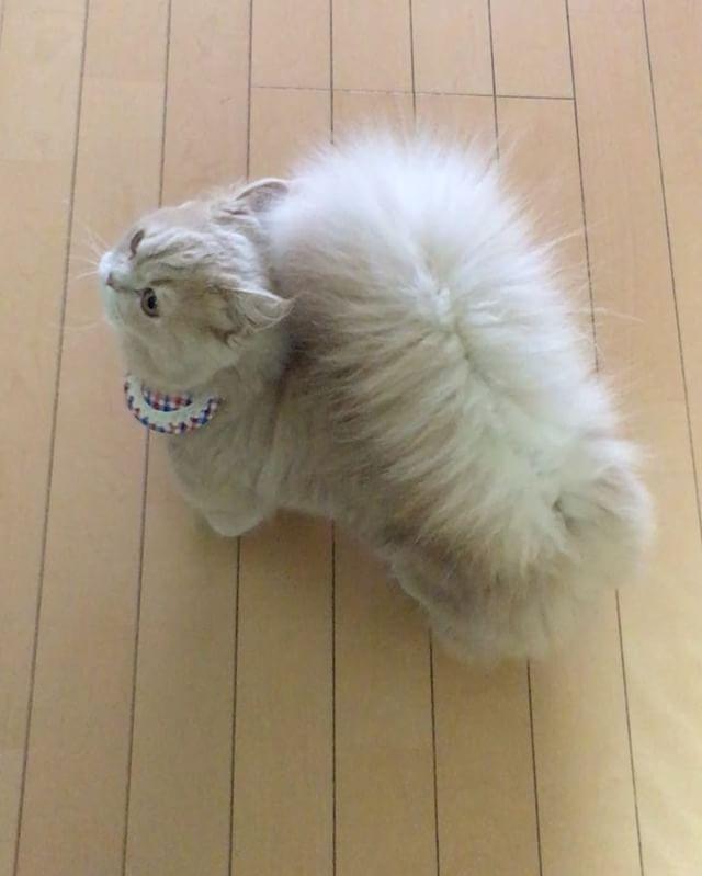 ごはんちょうだい Please Give Me ベルくん 猫動画 ペコねこ部 Pecotv 関東にゃんこ部 ねこのきもち ピクネコ ミヌエット ペットスマイル Catsofinstagram Pecotv Catsofinstagram Kawaiicat 귀여운 かわいい子猫 ペット 面白いペット