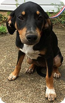Hagerstown Md Black And Tan Coonhound Mix Meet Janie A Dog