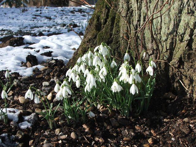 Snowdrops at Fairhaven Garden, Norfolk Broads