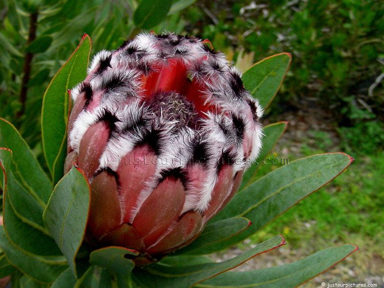 Pink mink protea flower google search flowers pinterest pink mink protea flower google search mightylinksfo