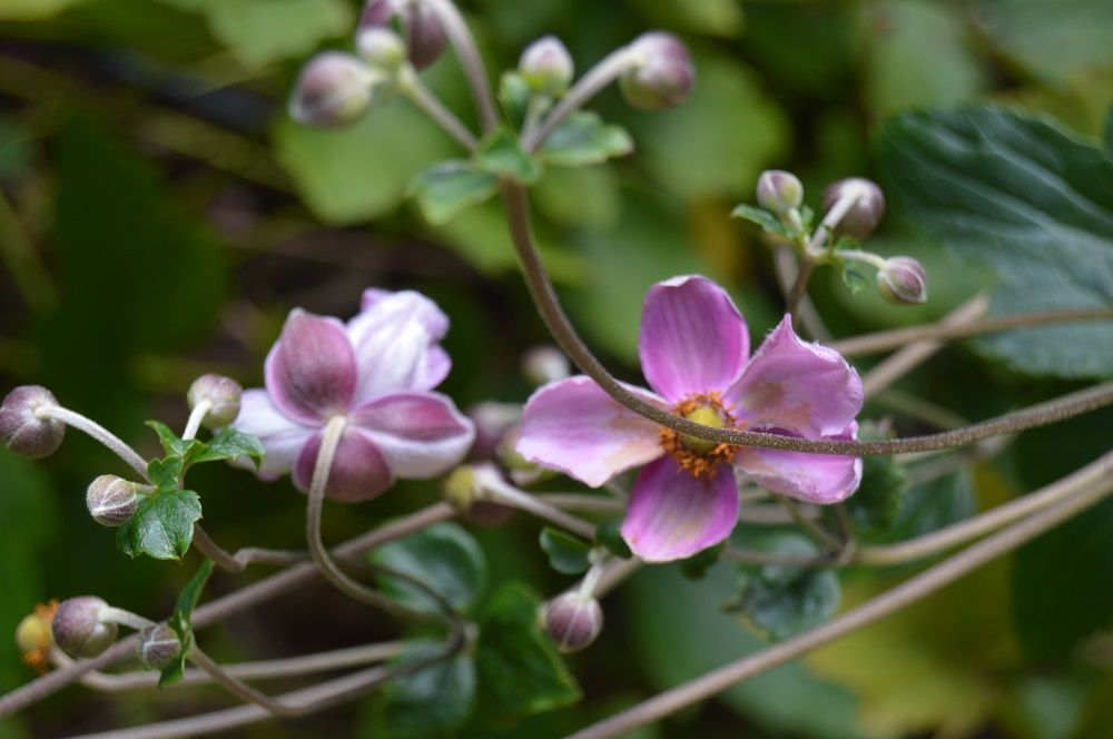 Anemone × hybrida 'September Charm' Common Name Japanese