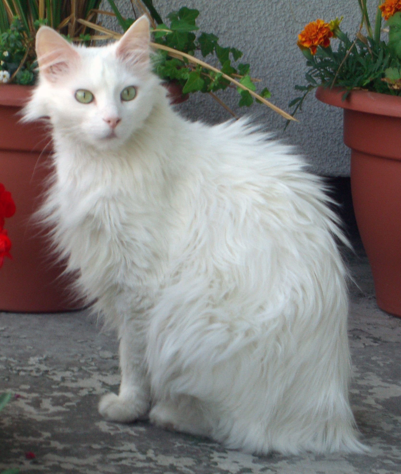 78aec2013037d1 White Turkish Angora Cats Long Hair Click to see more funny cats ...