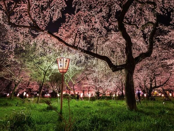 Cherry Blossom Picture Garden Wallpaper National Geographic Photo Of The Day
