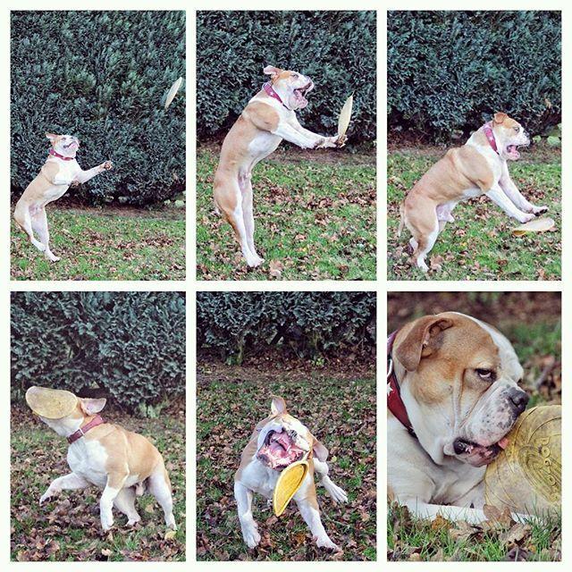 WEBSTA @ insomnia_maja - Ein ungleicher Kampf 🚼🏉 Nierowna walka #connex_star #continentalbulldog #conti #bulldoglife #bullyofinstagram #bulldogsofinstagram #lüdenscheid #happydog #igbulldogs #igbullyfamily #igbulldogs_germany #igbulldogs_worldwide #dogsofinstagram #flatnosedogsociety