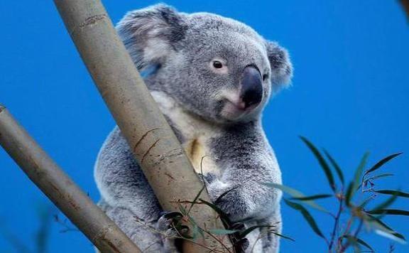 Megérkeztek aFővárosi Állat- és Növénykert legújabb lakói. A két koala (név szerintNur-Nuru-Bin és Vobará) Belgiumból illetve Németországból érkezett.