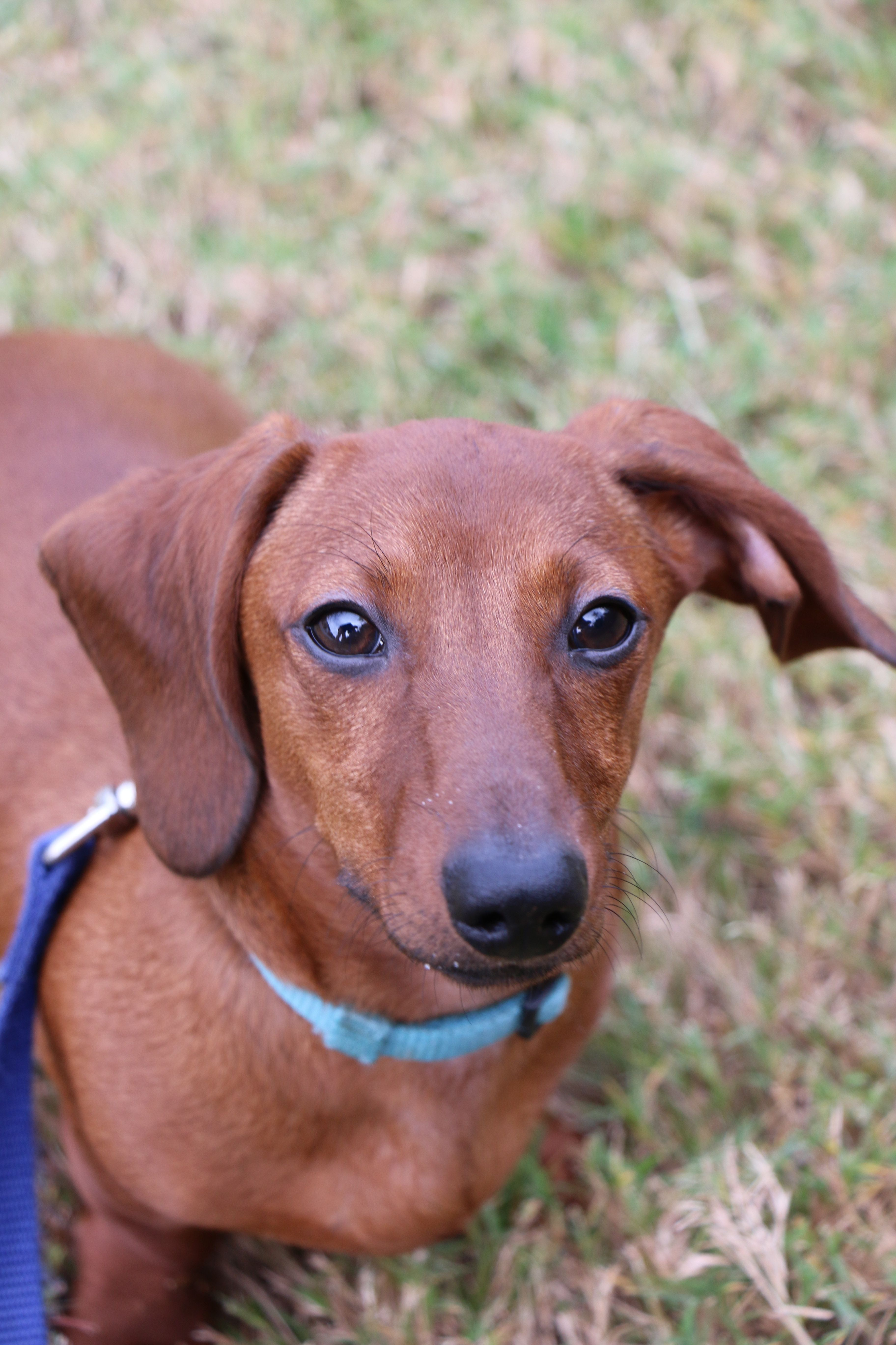Our Loving Chase Red Short Haired Dachshund Doxie Weiner Dog