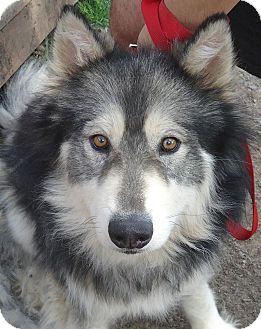 Mason - Husky/Alaskan Malamute mix - 2 yrs old -  Medford, OR - Songdog Rescue, Inc - http://www.songdogrescue.com - http://www.adoptapet.com/pet/9905571-medford-oregon-husky-mix - http://www.petfinder.com/petdetail/24919715/ - https://www.facebook.com/SongdogRescue