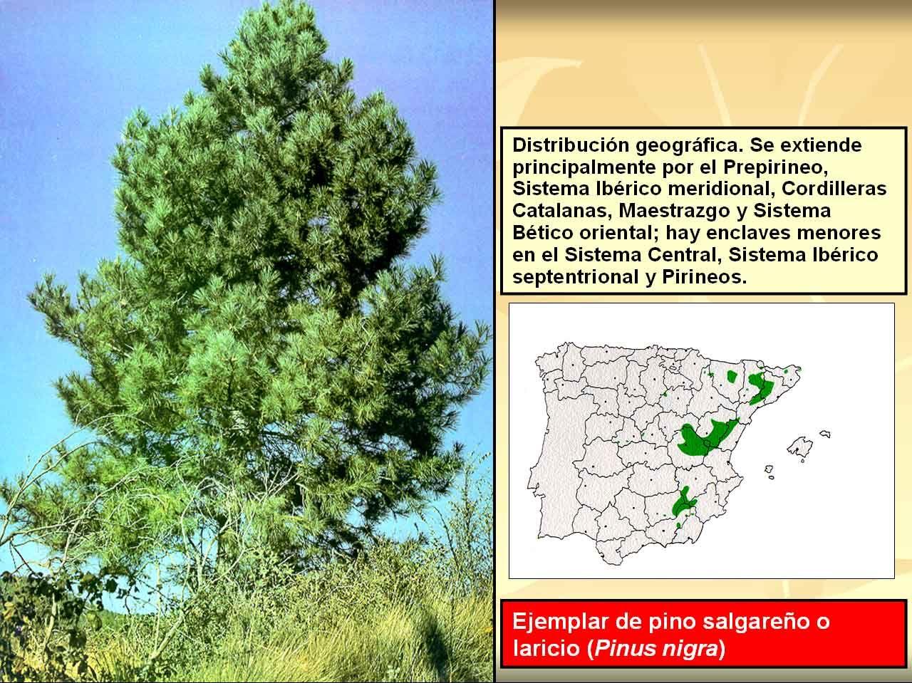 Pinus nigra pino negral jardin pi a y variedades de pinos for Variedades de pinos para jardin