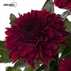 Barca Red Chrysanthemum October Wedding Flowers Winter Wedding Flowers Wholesale Flowers