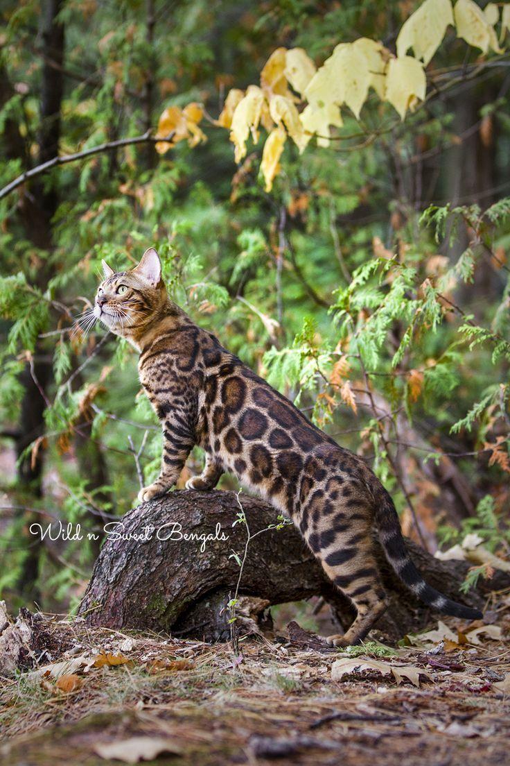 Erstaunliche braune Bengalkatze ❤ Jetzt warten auf schöne braune und blaue Bengalkatze ... #catbreeds