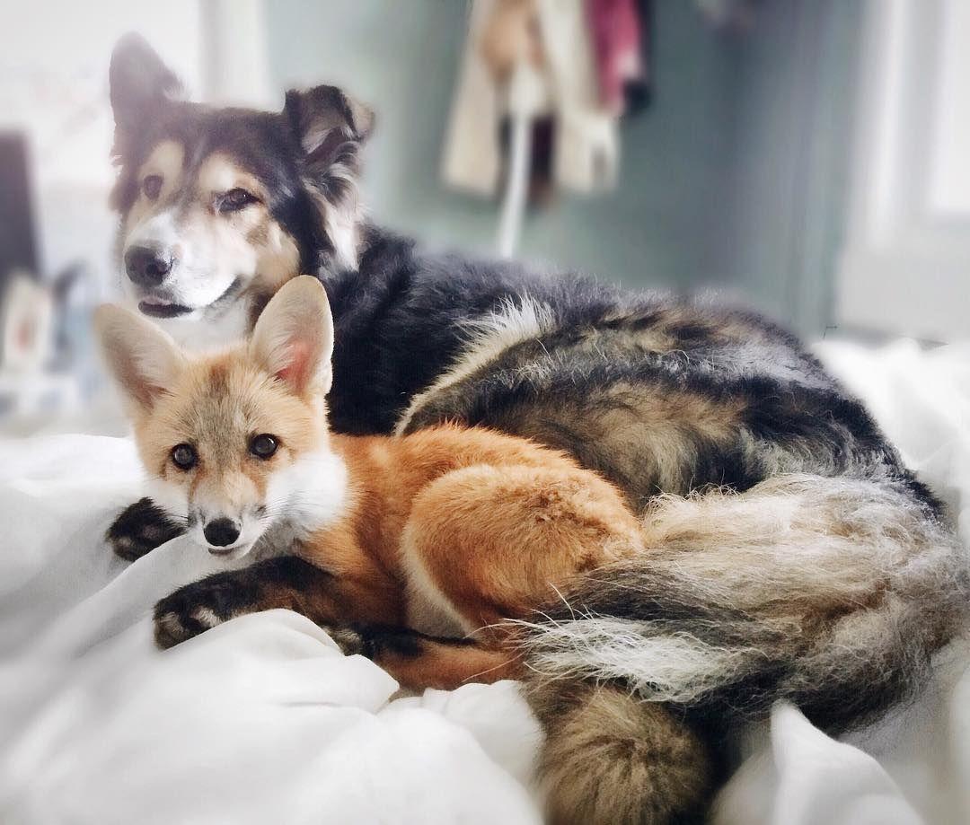 72 1k Likes 717 Comments J U N I P E R F I G Juniperfoxx On Instagram Cuddle Sesh Pet Fox Fox Dog Dog Friends