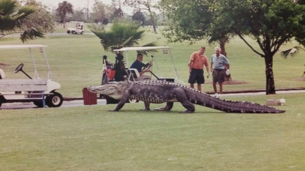 18++ Alligator at florida golf course ideas