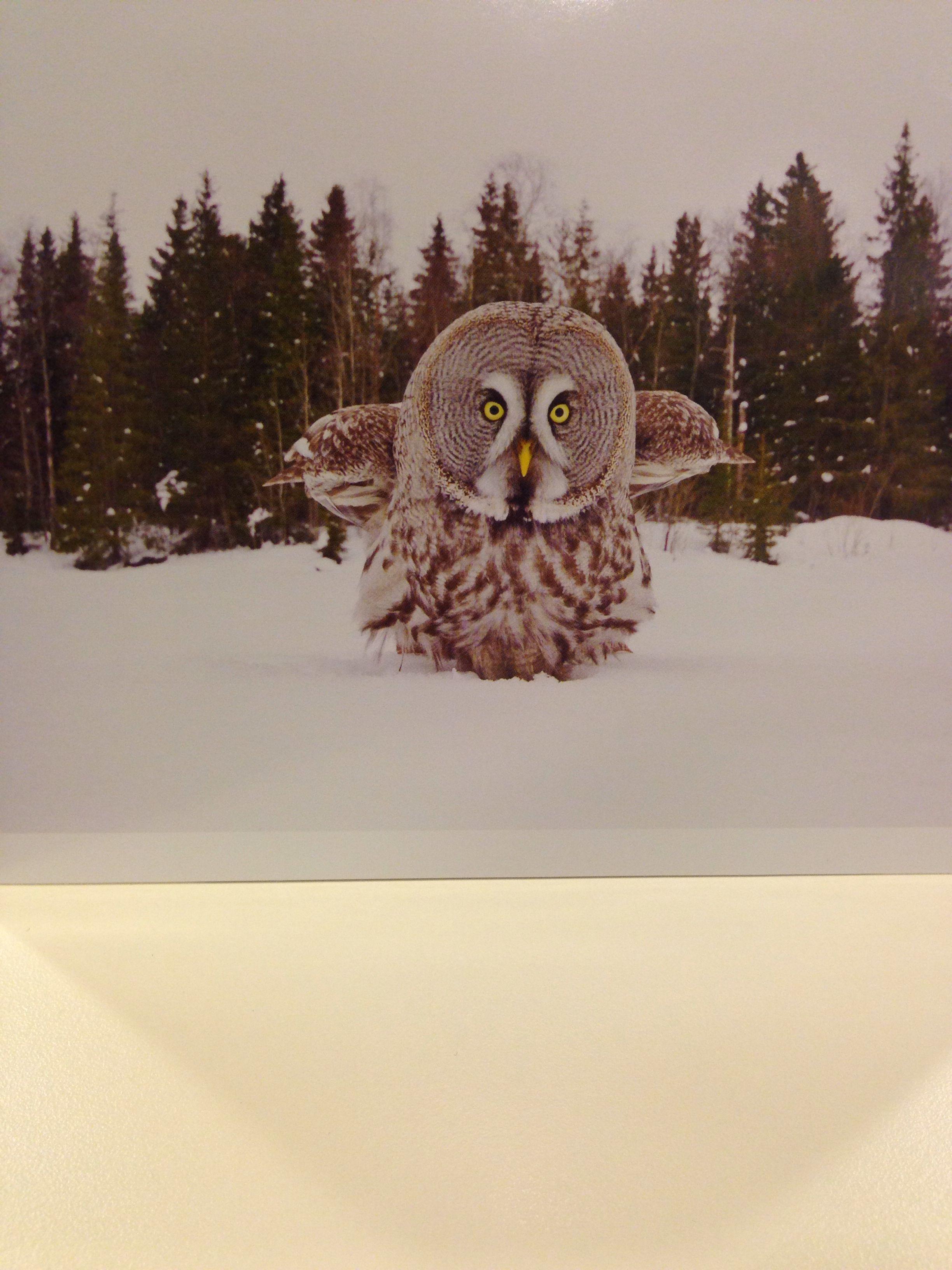 }{ Great grey owl | Great grey owl, Owl, Bird feathers