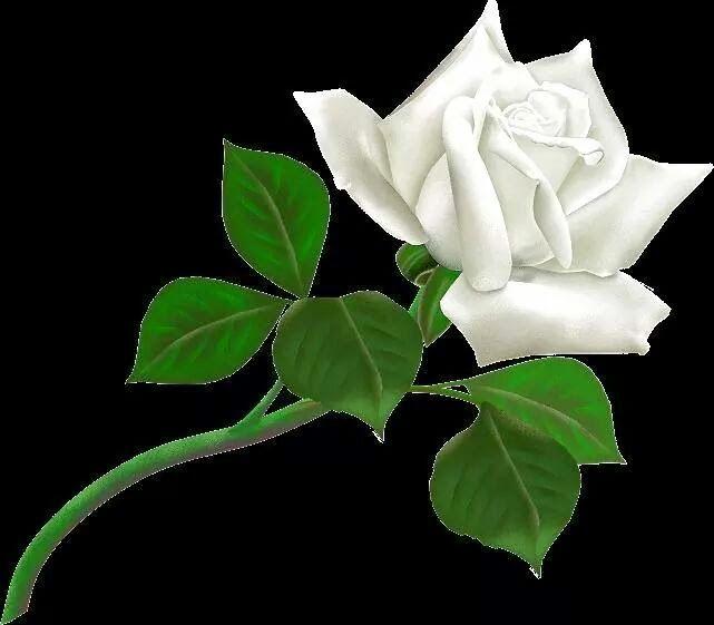 Free Png Rosas Brancas Rosas Tulipas