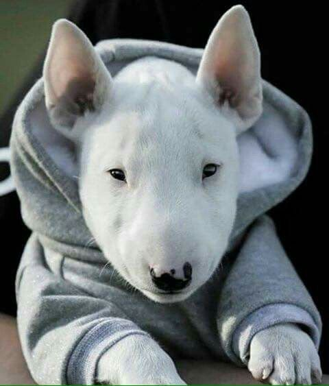 Baby Bullie In Baby Hoodie Miniature Bull Terrier Dogs
