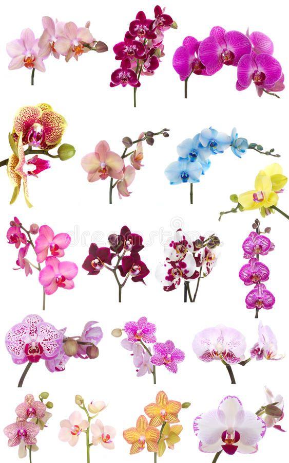 Orchids Flowers Phalaenopsis Orchid Flower Isolated On White Background Affiliate Phalaenopsis Orchids Painting Orchid Flower Tattoos Orchid Wallpaper