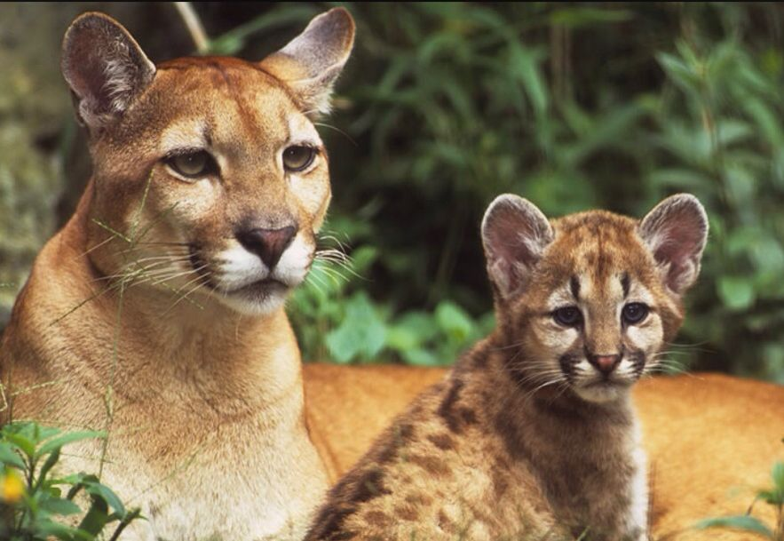 Pumas animales en extinción. Cougars endangered animals. We stop all animal abuse.