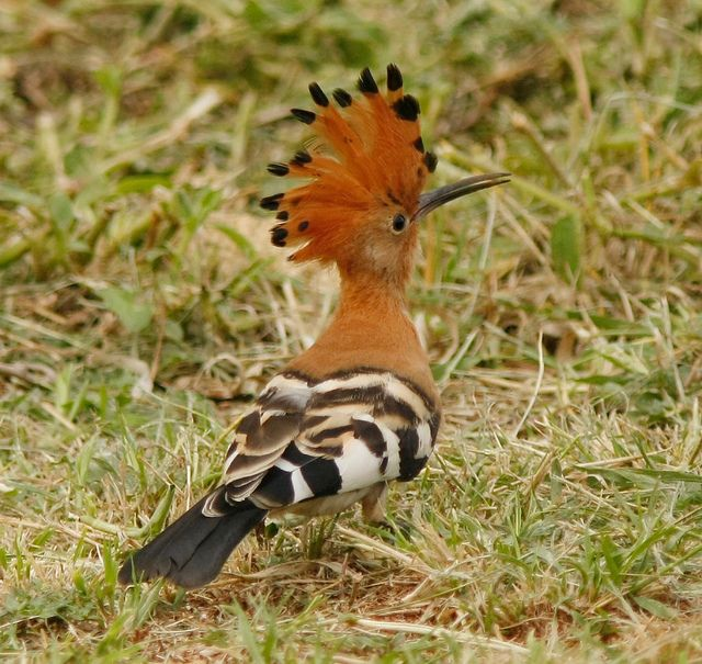 African Hoopoe by David Beadle Listen .... http://www.africam.co.za/wildlife/files/africanhoopoe1_1.mp3