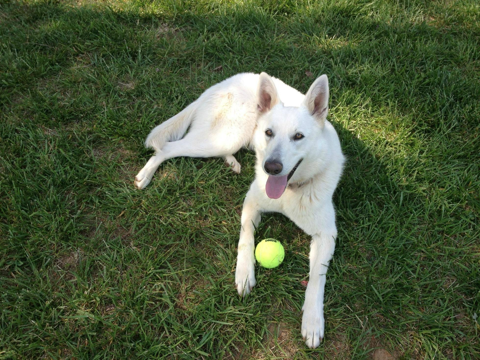 White Shepherd Mix White German Shepherd Husky German