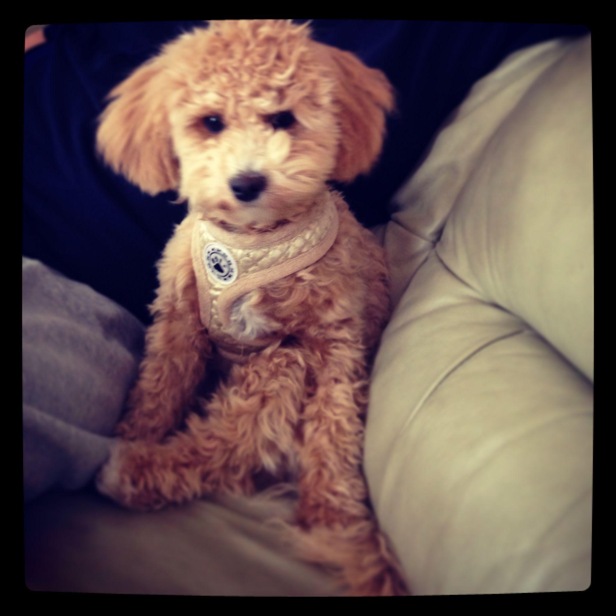 Follow Sophie The Bear On Instagram Bichon Poodle Poochon