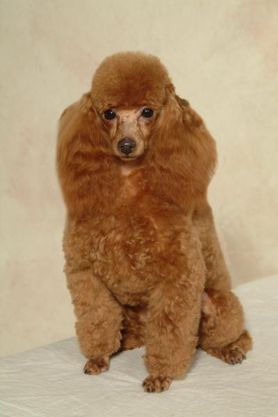 The Daisy Hill Poodles Retirement Poodle Haircut Poodle Puppy