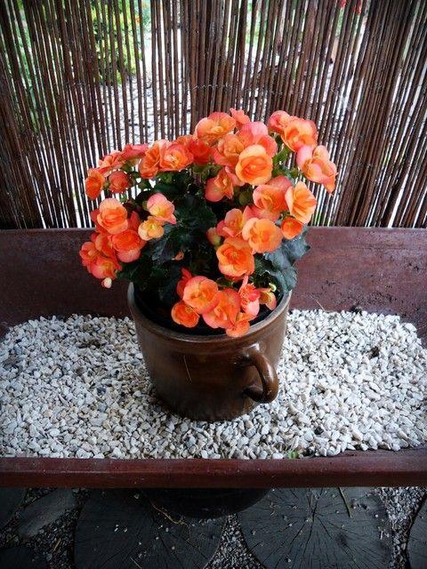 Begonia Pomaranczowa Begonia Plants Garden