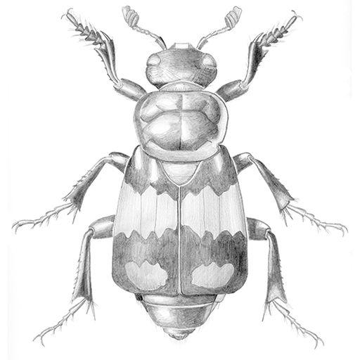 Nicrophorus vespilloides illustration