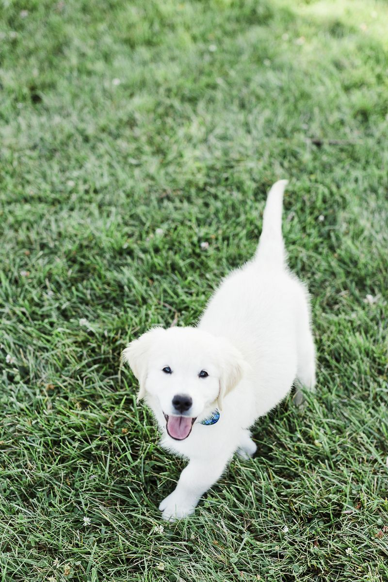 11 Week Old English Cream Golden Retriever Puppy C Victoria Hunt Photography Indiana Lifestyle Dog Retriever Puppy Golden Retriever Puppy Golden Retriever