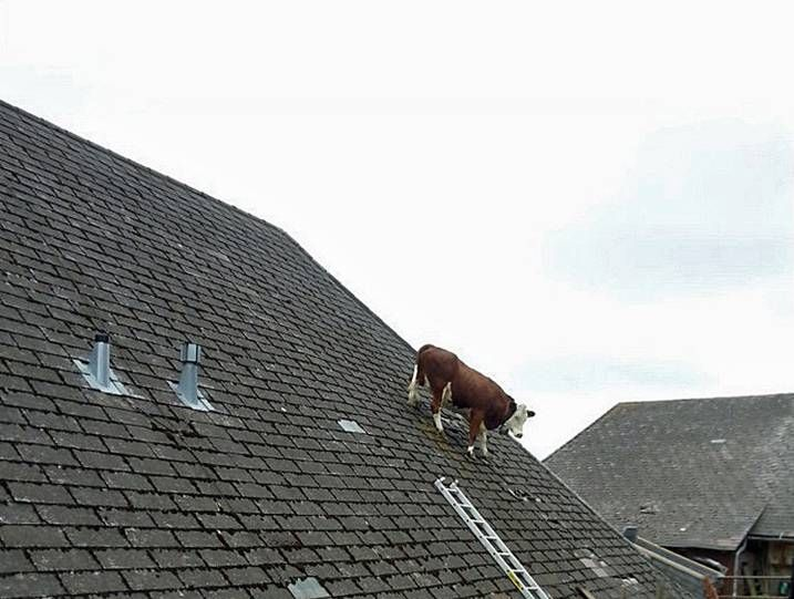 Udderly Ridiculous Cow Gets Stuck On Roof Cow Spots Silly Pictures The Floor Is Lava