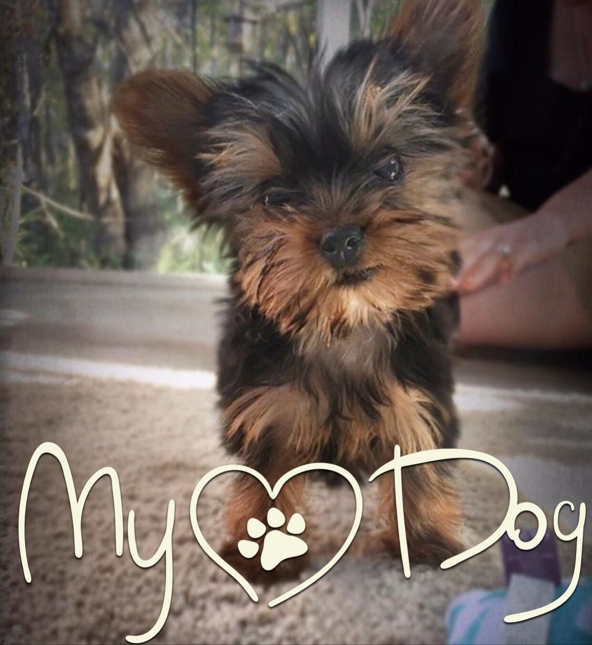 Photo And Pin By Fran Fields Cornelius My Dog Yorkshireterrier Yorkshire Terrier Teacup Yorkie Puppy Yorkshire Terrier Dog