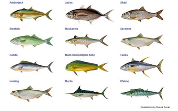 Names of fish to eat do you like to eat different types for Oily fish representative species