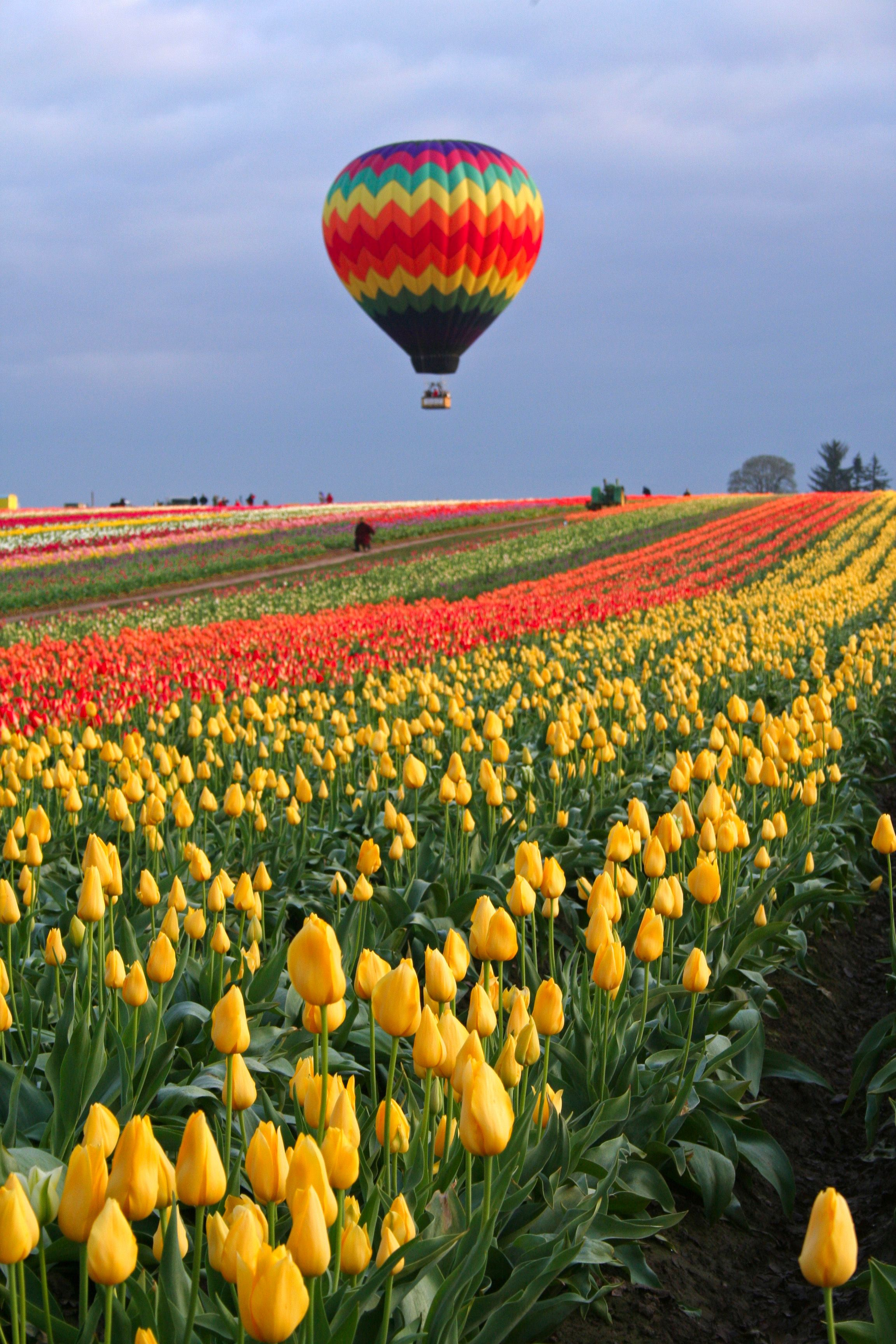 Home to the famous Wooden Shoe Tulip