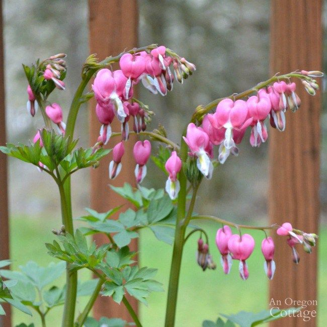 My 14 Favorite Plants For Gardening In The Shade One That S Not An Oregon Cottage Plants For Shady Areas Plants Bleeding Heart