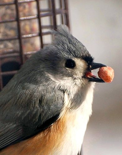 Bird - Tufted Titmouse Photo | Flickr - Photo Sharing!