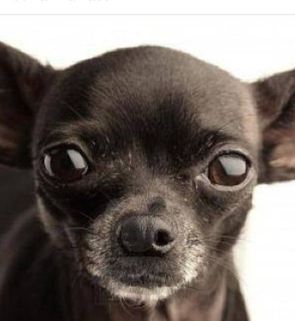 Chihuahua Gives Birth To A Beautiful Puppy Boy Black Chihuahua